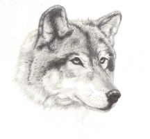 Wolf - Realism by angeliceva042