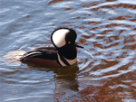 Male Hooded Merganzer by Mogrianne