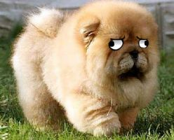 this is a chow chow by SupaLexi