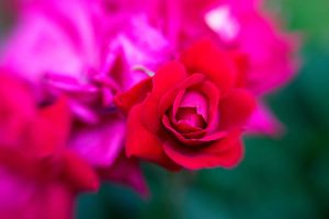 Lensbaby Rose by LDFranklin
