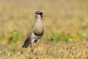 Crowned Plover - African Wild Bird Singing Beauty by LivingWild