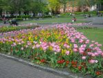 Tulips... by Alies16