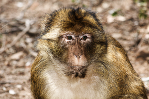 Barbary Macaque I by Solrac1993