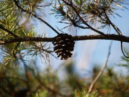 pine cone on branch by Irie-Stock