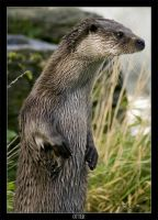 Otter by FearDesign