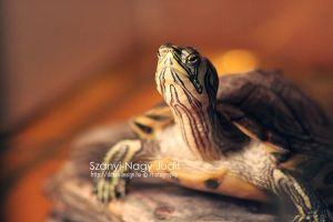 Turtle by dittah