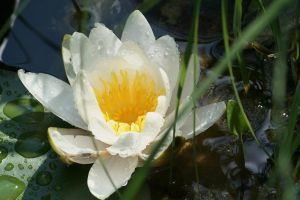 second waterlily in my pond today by ingeline-art