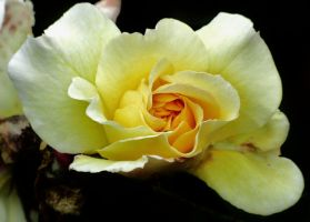 The Rose Of Allandale by Heylormammy