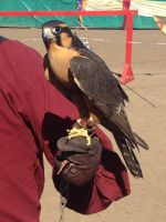 Peregrine Falcon with a radio transmitter by Arachnoid