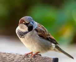 Portrait of a Sparrow by firouz222