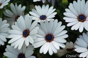 White African Daisies by poetcrystaldawn