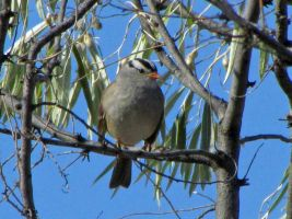 White crowned sparrow by Glacierman54
