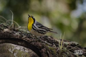Yellow-throated Warbler by 2753Productions
