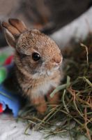 Baby Cottontail by BestFriendsSanctuary