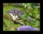 Eastern Tiger Swallowtail V by David-A-Wagner