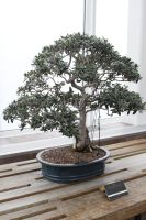 Bonsai Tree 5 by CastleGraphics