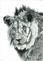 Lion of Contrast by TheWildKid