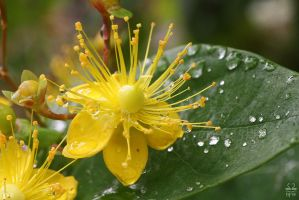 Wet Flower by Brigitte-Fredensborg