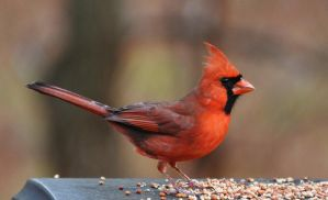 Male Cardinal 2 12-26-11 by Tailgun2009