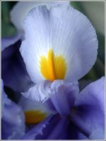 Iris at Attention by jezebel
