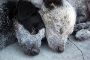 Cattle Dog Nap by AnxietyPatient