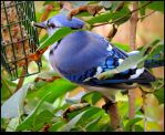 The Blue Jay On the Lilac by JocelyneR