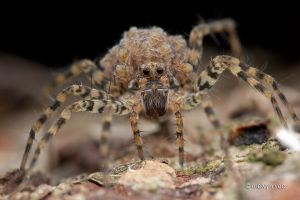 Wolf Spider with Babies by melvynyeo