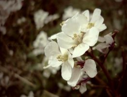 White flowers II by anneclaires