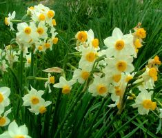 French Daffodil by floramelitensis