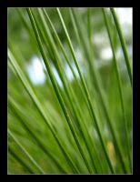 Pine Tree 2 by MichelleMarie