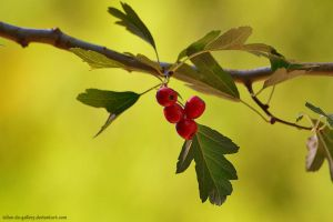 berries by Iulian-dA-gallery