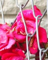 decaying roses try to escape.. by greenlee4