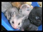 Hamsters by Monroeville