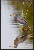 Reflective Tricolored Heron by EWilloughby
