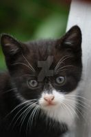Black And White Kitten 11 by Frozenbullet