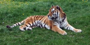 Zoo Montana Tiger 64 by Falln-Stock