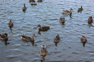 Ducks in the water by crispykrillin