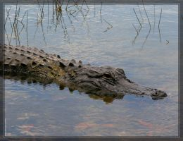 American Alligator 20D0048942 by Cristian-M