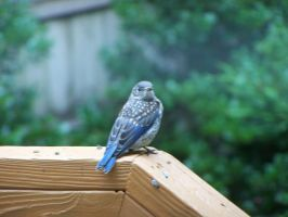 Baby Blue Bird 2 by watercolos