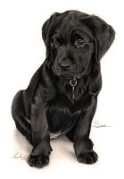 Commission - Black Labrador puppy 'Sophie' by Captured-In-Pencil