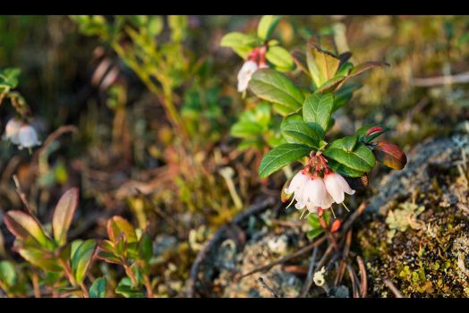 Lingonberry by VortexFI