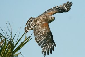 Red Shouldered Hawk Launch by Kippenwolf