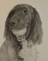 Commission - Sprocker Spaniel 'Poppy' by Captured-In-Pencil
