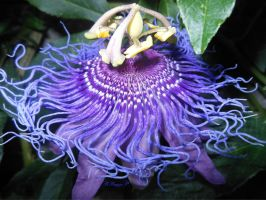 PURPLE PASSIFLORA by RADIANTROSAS