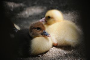 The Beautiful Duckling by Gbrlit