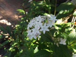 White Pentas by tablelander