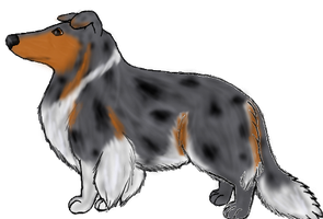 Rough Collie: Blue Merle by Colliequest