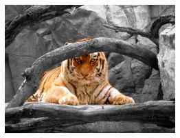 Omaha Tiger 02 Colorized by tjackson80