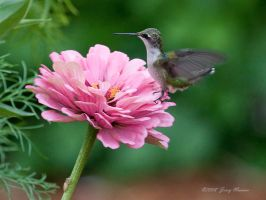 Hummer on Flower by Sp00ksMage
