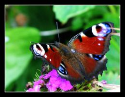 Peacock butterfly by grecebo